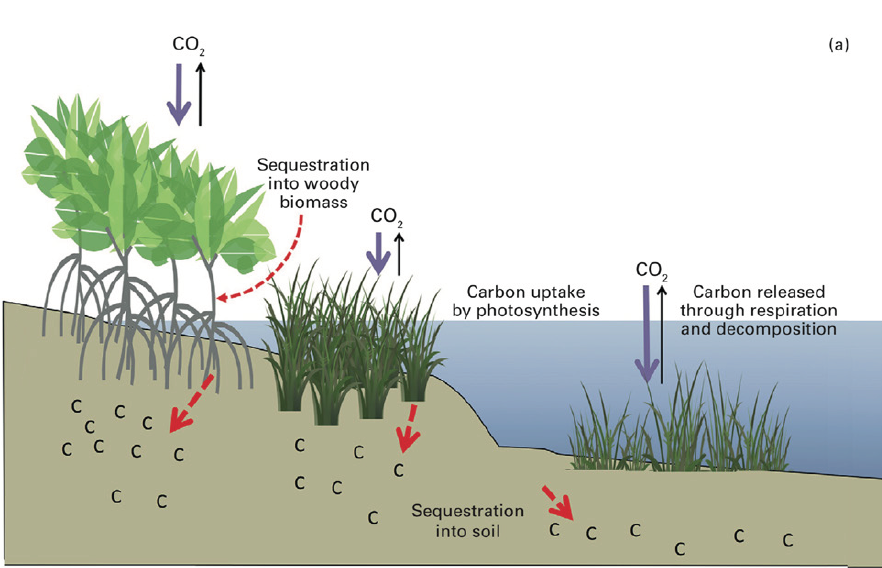 Figure 4 (a): In intact coastal wetlands