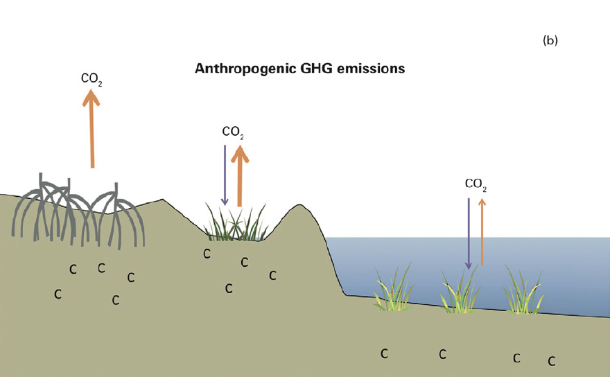Figure 4 (b): When soil is drained from degraded coastal wetlands