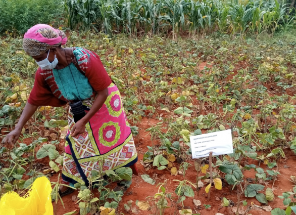 A farmer from Mbulia Group learning site harvesting green/red grams from one of the study plots