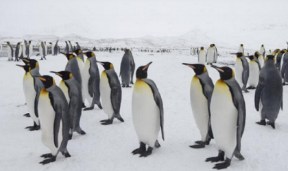 On the location of the world's largest colony of king penguins (the shore of Saint Andrews Bay, South Georgia island)